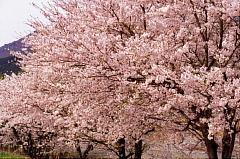 桜-朽木村